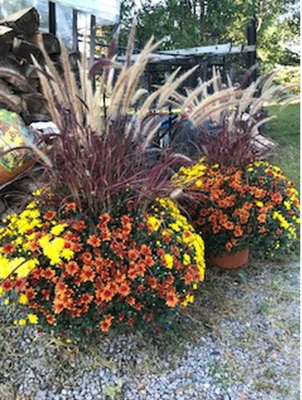 14 inch mixed mums with red grass