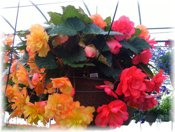 Orange Picotee Illumination Begonia