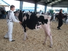 Simcoe County Holstein Show